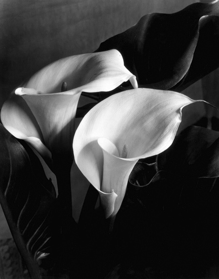 Imogen_Cunningham_Two_Callas2_late 1920s