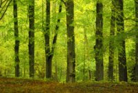 beech_wood_vertical_lines