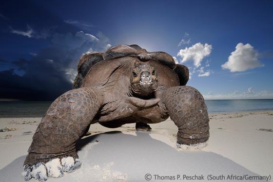Thomas P Peschak (South Africa/UK) - Giant beachcomber