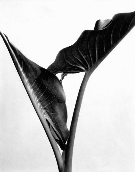 Imogen_Cunningham_Calla_Leaves_late_1920s