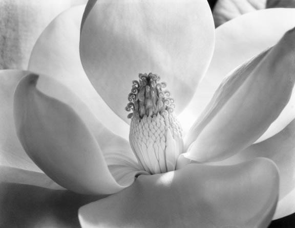 Imogen_Cunningham_Magnolia_Blossom_1925