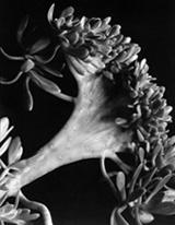 Imogen_Cunningham_Succulent_1920s