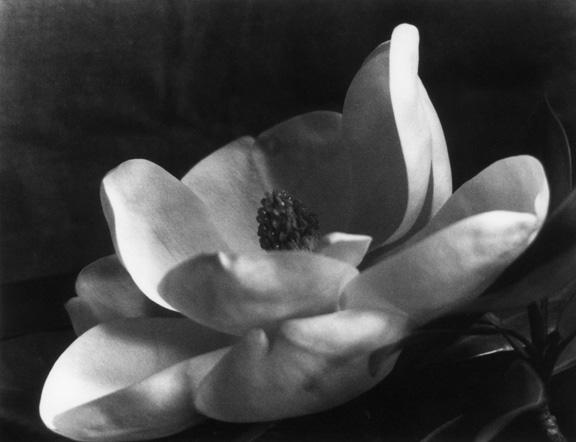 Imogen_Cunningham_The_first_magnolia_1923
